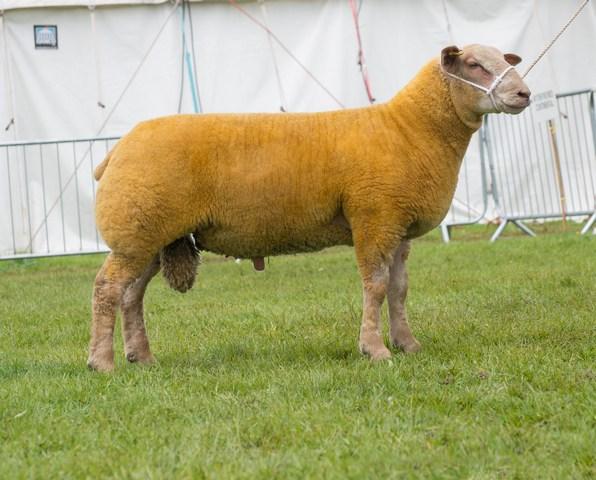 Charo Lamb
