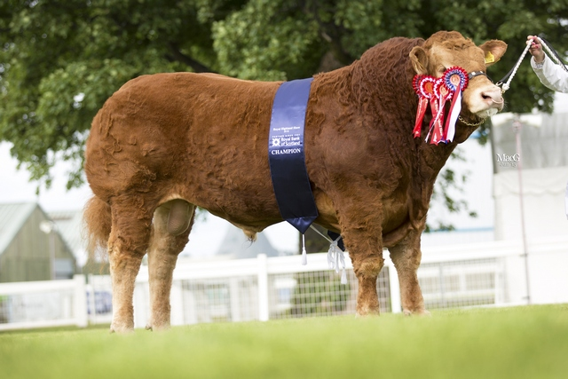 Limousin-Champion-9996