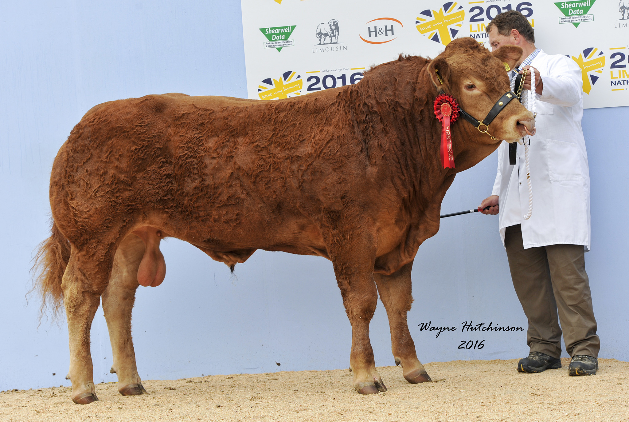 Foxhillfarm Louisvuitton - 1st Class 9d. Limousin National Show 2016. Wayne Hutchinson / www.farm-images.co.uk