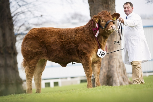 Foxhillfarm Izzy - reserve overall Limousin