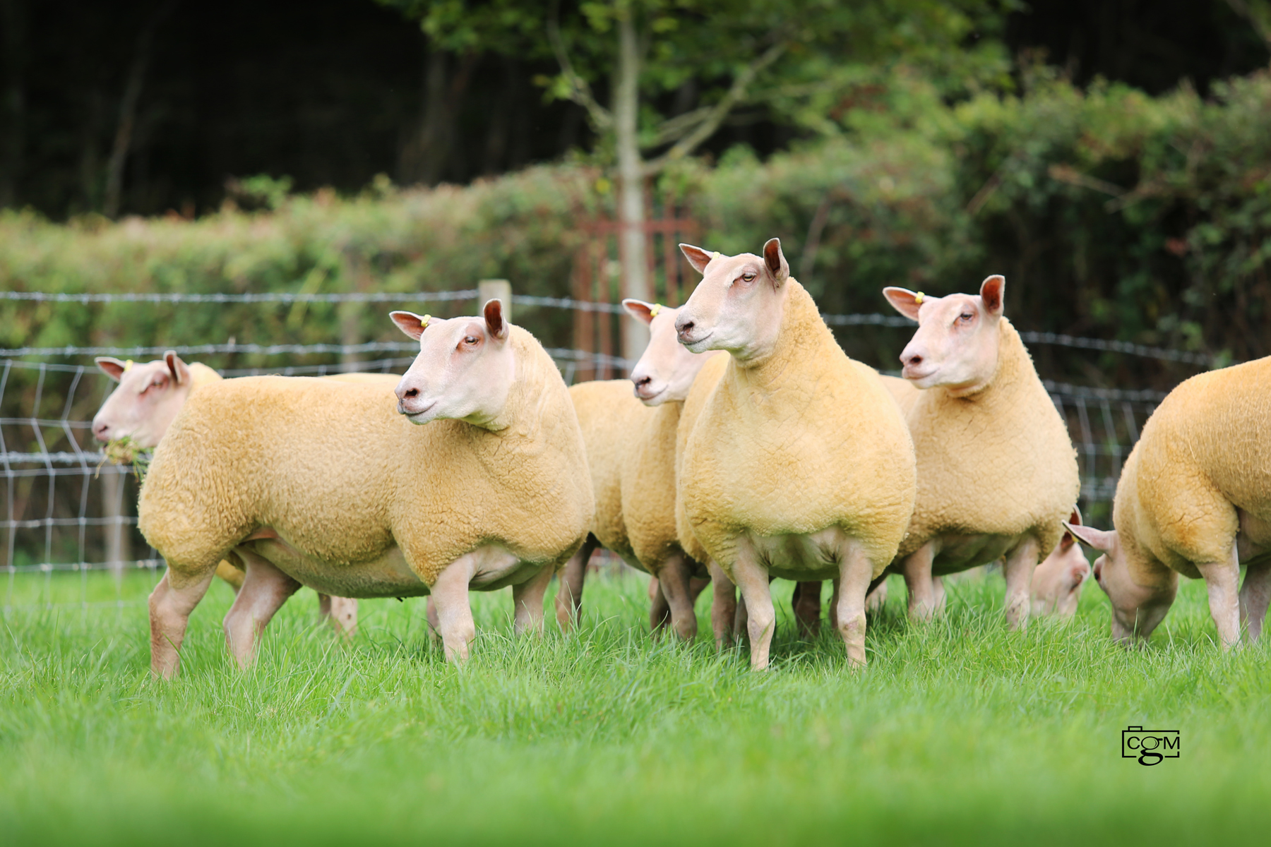 Read more about the article Foxhill have eight ewe lambs for Saucy Sale