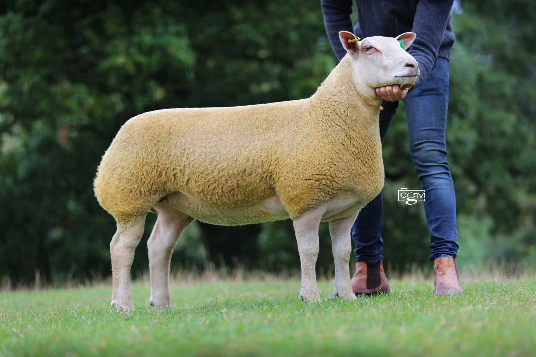 Read more about the article Foxhill tops ewe lambs at Saucy Sale